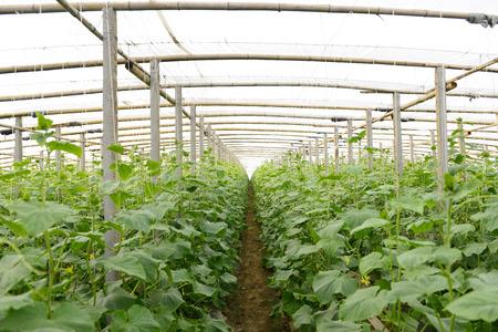 vigorous: Vigorous growth of cucumber in greenhouse Editorial