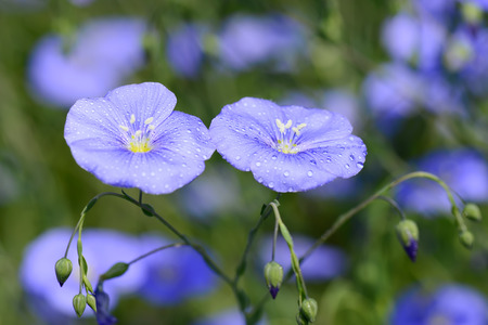 garden features: Blue flowers blooming, close-up