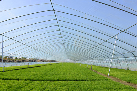 land management: The cultivation of rice seedlings plastic greenhouses