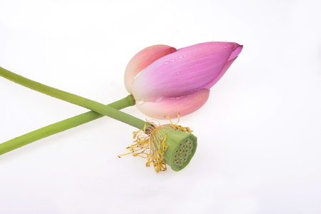 garden features: Pink lotus flowers on a white background Stock Photo