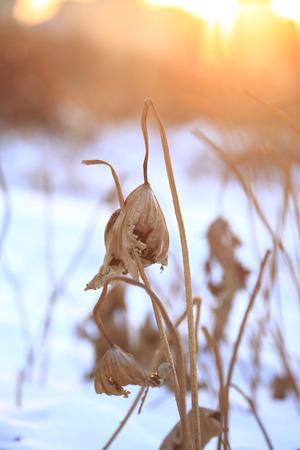 dried lotus during sunset