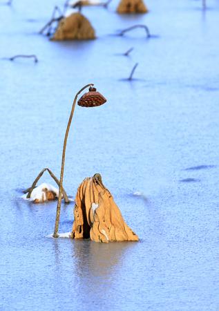 dried lotus at freezing pond Stock Photo
