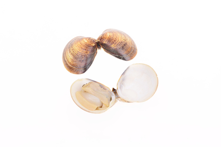 Clam isolated on a white background