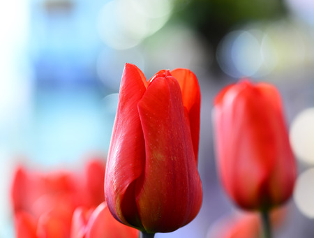 tulip blooming Stock Photo