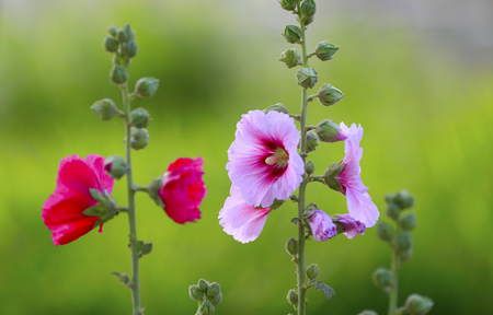 hollyhock flowers in the garden
