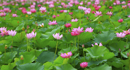 The lotus is in full bloom in the pond Stock Photo