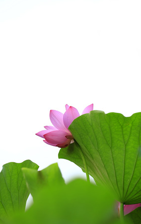 The lotus is in full bloom in the pond