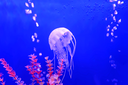 jellyfish, in the water