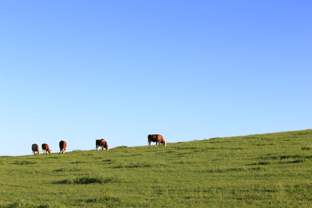 Many cattle are grazing on the hillside Stock Photo