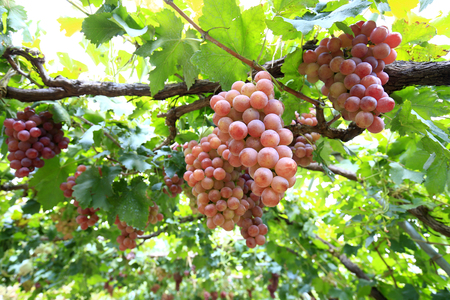 Ripe grapes in the vineyard