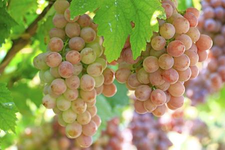 Ripe grapes in the vineyard Archivio Fotografico