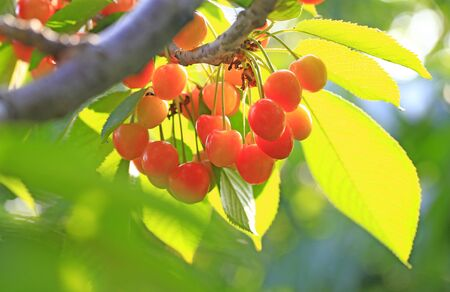 Many ripe cherries, on the tree