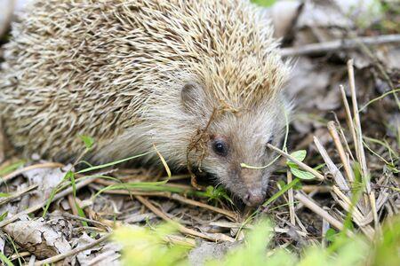 A hedgehog is playing outside 版權商用圖片