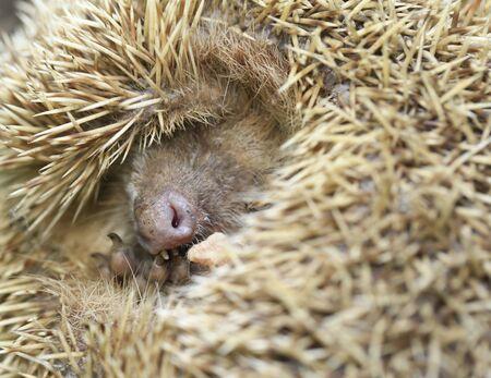 closeup of a hedgehog Stockfoto - 131284213