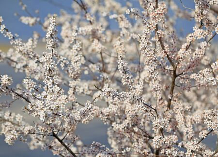 Blooming peach blossoms in an outdoor park Stockfoto - 131282891