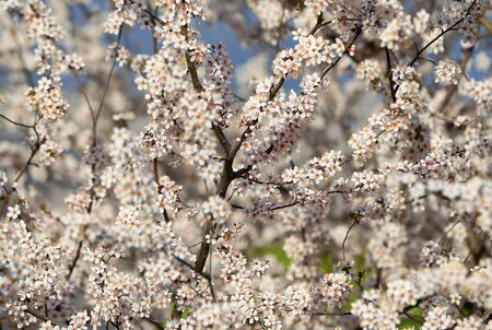 Blooming peach blossoms in an outdoor park Stockfoto - 131295403