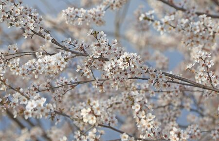 Blooming peach blossoms in an outdoor park Stockfoto - 131283013