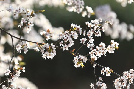 Blooming peach blossoms in an outdoor park Stockfoto - 131295400
