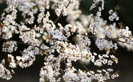 Blooming peach blossoms in an outdoor park Stockfoto - 131282909