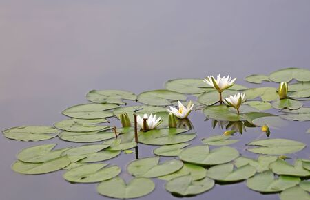 White water lilies, in the river Stockfoto - 131283095