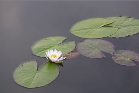 White water lilies, in the river