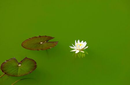 White water lilies, in the river  版權商用圖片