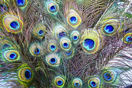 Peacock feathers, closeup photo  Stockfoto