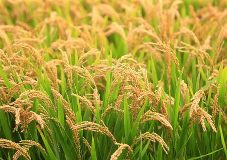The golden rice is in the rice field