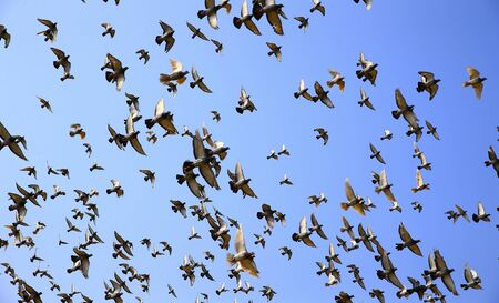 Many pigeons fly in the sky