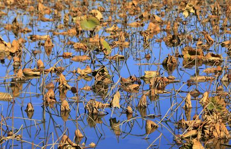 The lotus in the river, in the park in autumn