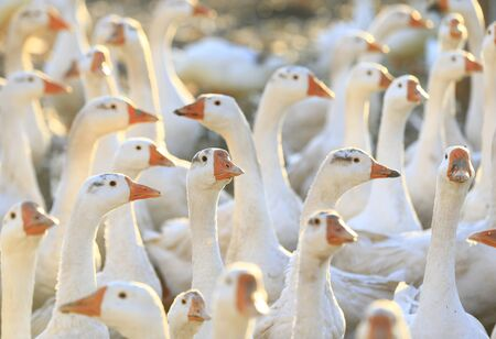 Many geese together, close-up photo