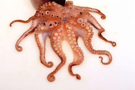 Octopus on a white background,closeup photo