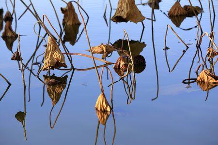 Broken lotus flowers in the park pond