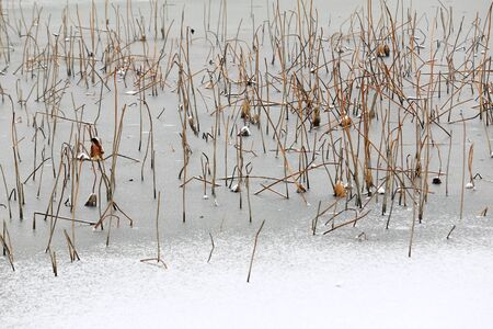 Broken lotus flowers, in the pond after the snow Stockfoto