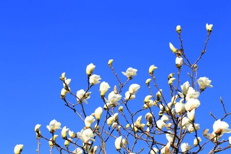 Magnolia in full bloom on a blue background