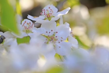 Blooming apricot flowers in the park