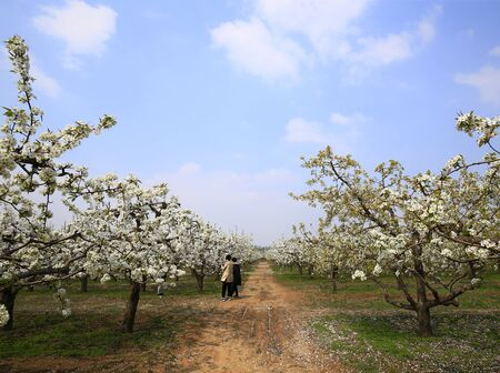Blooming pear flowers in the background of blue sky and white clouds