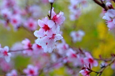 beautiful flowering plum ,in the garden