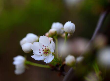 Blooming pear flowers in the garden