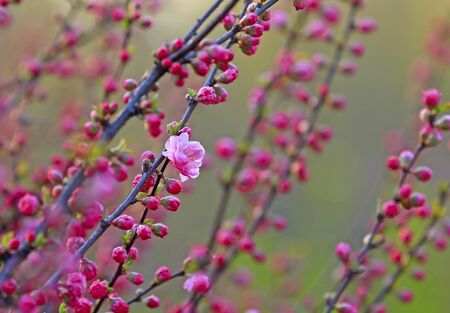 beautiful flowering plum ,in the garden
