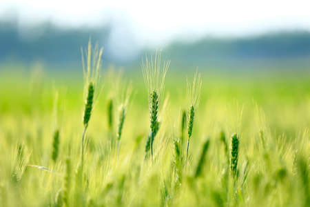 Wheat growing in the wheat field