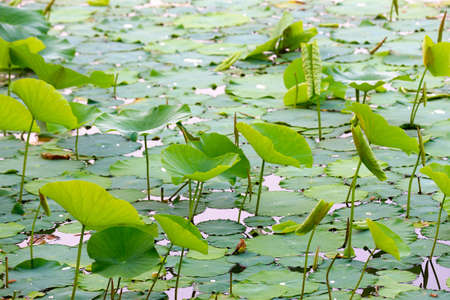 Green lotus leaves grow in the water Banque d'images