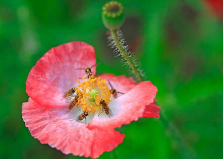 Bees gather nectar from flowers Banque d'images