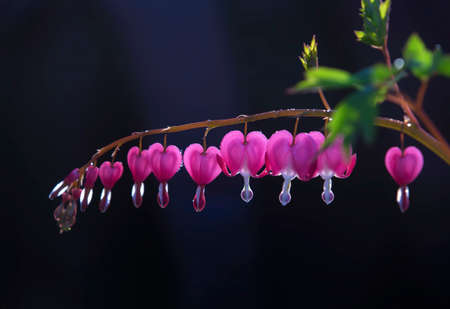 Blooming dicentra spectabilis, in the garden