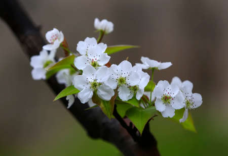 White pear flowers in full bloom, in the garden Banque d'images