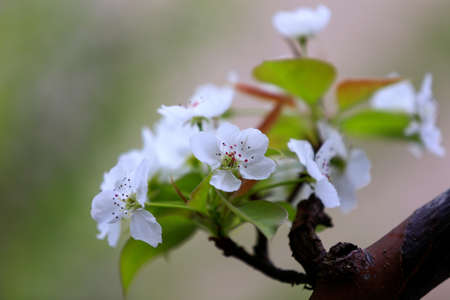 White pear flowers in full bloom in the garden