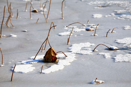 Broken lotus flowers on the snow