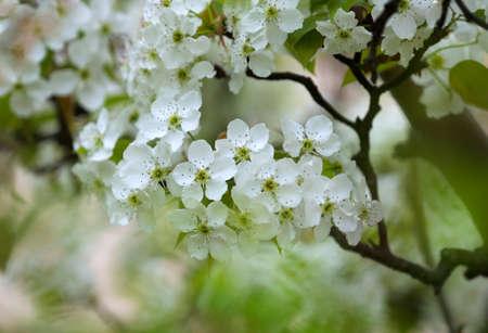 White pear flowers in full bloom at the garden
