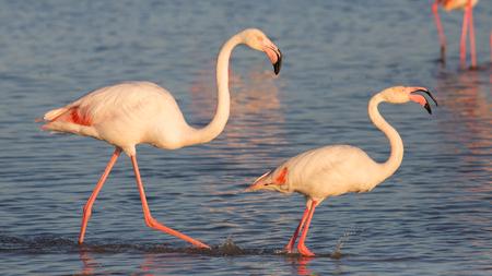 camargue: Flamingo couple in Camargue, France