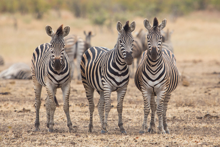 kruger park: Three zebras in Kruger Park, South Africa Stock Photo